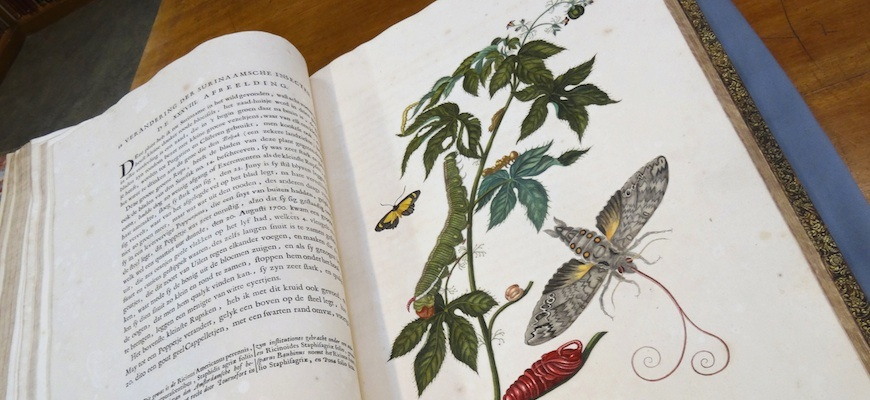 merian insects